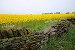 Stone Wall and Yellow Field of Rape, Yorkshire, UK