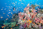Rainbow Reef, Somosomo Strait, Fiji; a scuba diver hovers over an aggregation of Scalefin Anthias, Chromis and Butterflyfish swimming over the colorful soft coral reef