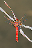 362650002 a wild female cardinal meadowhawk sympetrum illotum perches on a dead stick over piru creek angeles national forest los angeles county california