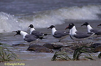 1Z02-003x  Laughing Gull - eating horseshoe crab eggs - Larus atricilla