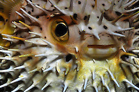 Balloonfish (Diodon holocanthus) The balloon fish, a member of the porcupinefish family (Diodontidae) infllate their bodies when threatened, making them very diffiicult prey. Cozumel,Mexico