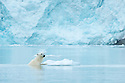 Polar bear hanging out on a chunk of glacial ice in Smeerenburgfjorden, Spitsbergen, Svalbard.
