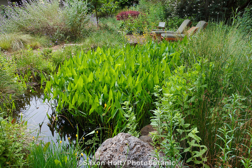 Backyard garden pond water feature with Broadleaf Arrowhead (Sagittaria latifolia) in natural habitat California native plant garden, Schino