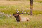 Elk Bugling at Rest, Norris Junction, Yellowstone National Park, Wyoming