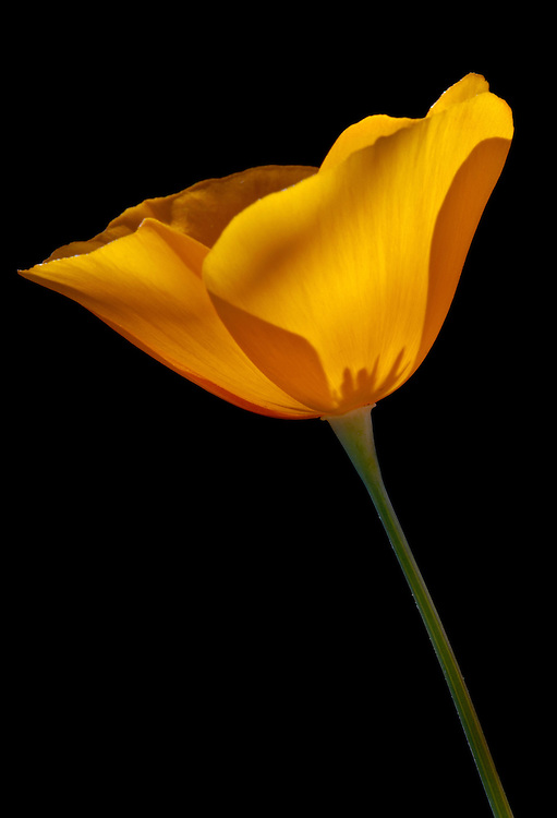 A single Mexican gold poppy (Eschscholzia californica) against a shaded background