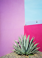 A focal point in the corner of a walled garden is created by a large cactus planted at the junction between two walls painted vibrant shades of pink