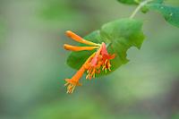 Caprifoliaceae (Honeysuckle Family)