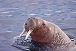 Walruses Master