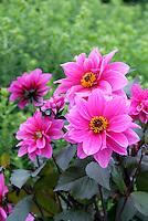 Dahlia 'Fascination' (AGM) (SWL/DwB) single pink flowers with dark purple black foliage leaves