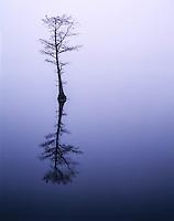 Bald cypress in fog, Reelfoot Lake National Wildlife Refuge, Tennessee