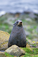 Northern Fur Seal, St. Paul, Pribilof Islands, Alaska.