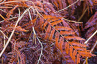 Ferns (Woodsiaceae sp.) , The Elan Valley, Rhayader, Mid-Wales, UK   , HELECHOS,  VALLE DE ELAN, RHAYADER, GALES MEDIO, REINO UNIDO