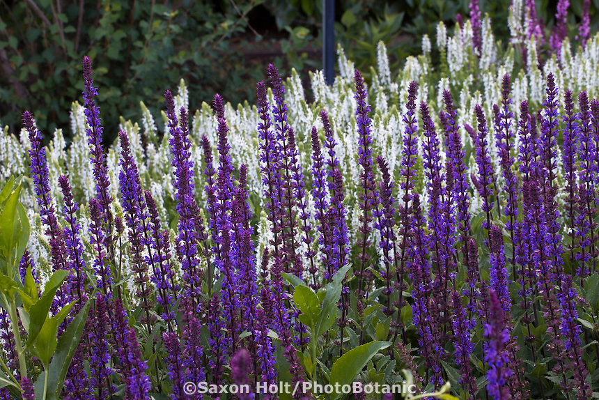 Perennial sages, Salvia nemorosa 'Caradonna' in front of Salvia nemorosa 'Schneehugel' Snowhill
