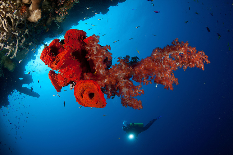 Diver looks on at a bright red soft coral Dendronephthya sp. and sponge hanging from the roof of a cave, Gorontalo, Sulawesi, Indonesia