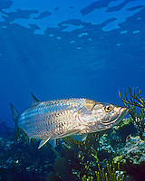 Atlantic Tarpon (Megalops atlanticus) swimming over coral reef, Looe key, Florida Keys National Marine Sanctuary, Florida, USA, Caribbean Sea, Atlantic Ocean