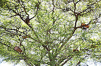 A man climbs up an acacia tree with a hive to place it before the swarming period, the time when a colony of bees will come to live in it themselves. Here, the scourges that have decimated the bees in the developed countries have not yet arrived. No Varroa Acari, no pesticides, no herbicides and even less monoculture and importing of bees. The biodiversity is well preserved and the local bee species are all that the tribes need.///Dans un acacia, un homme monte une ruche pour l'installer avant la période des essaimages, moment où une colonie d'abeilles viendra probablement l'habiter d'elle-même. Ici les fléaux qui déciment les abeilles dans les pays développés ne sont pas encore arrivés. Pas de d'acariens varroa, ni pesticides, ni herbicides et encore moins de monoculture et importation d'abeilles. La biodiversité est très préservée et les espèces d'abeilles locales suffisent aux tribus.