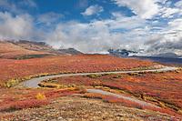 Denali park road winds through the crimson tundra of Denali National Park.