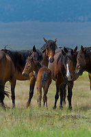 647980004v a small herd of wild horses equus ferus feed and graze on the open plains near river springs in mono county california