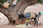 Pack donkey tied to a tree for a rest, Morocco