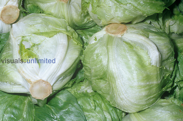 Iceberg Lettuce (Lactuca sativa)