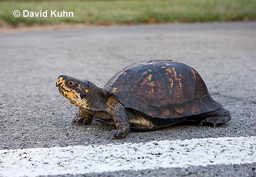 1003-0807  Male Eastern Box Turtle Crossing Paved Road - Terrapene carolina © David Kuhn/Dwight Kuhn Photography.
