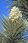 Joshua Tree Blossom