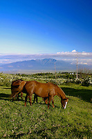 Horses graze in the lush green pastures of an upcountry Maui ranch. West Maui mountains in background.