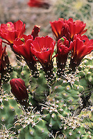 Flowering Echinocereus triglochidiatus v. inermus Spineless Claret cup cactus