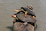 Marsh terrapin (African helmeted turtle), Pelomedusa subrufa, stacked up on log, Mkhuze game reserve, South Africa