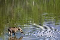 Yearling moose feeds on aquatic grasses, Denali National Park, Alaska