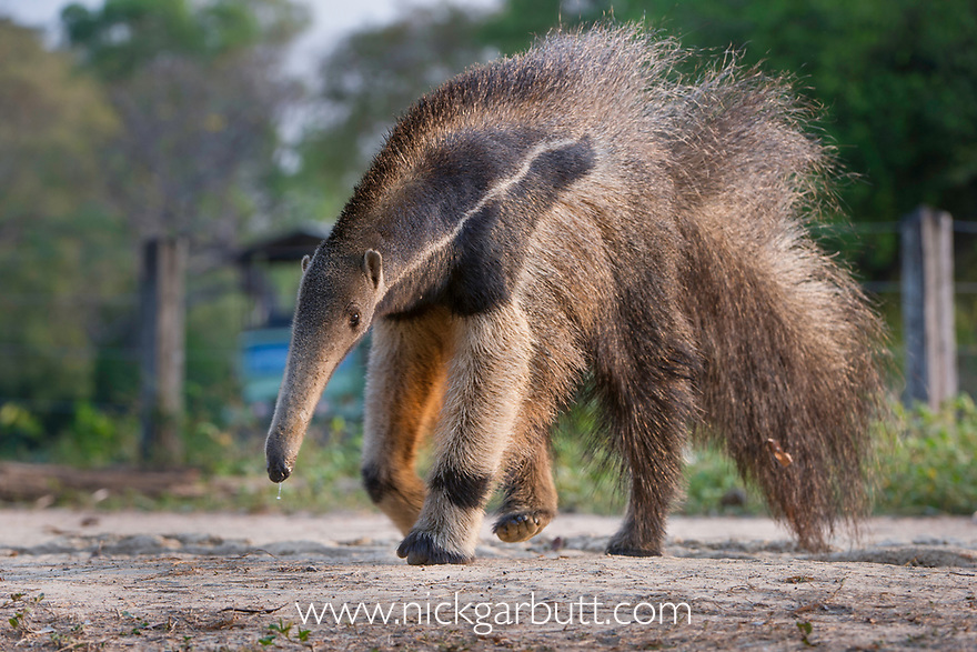 Adult Giant Anteater (Myrmecophaga tridactyla) (sometimes called Giant Ant Bear) crossing the Transpantaneira Highway / Road. Northern Pantanal, Moto Grosso State, Brazil.