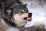 Timber or Grey Wolf, Canis Lupus, Minnesota  USA  .head study showing aggressive behaviour, guarding kill, snarling, growling, baring teeth, staring eyes, warning.USA....