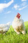 White Rock Chicken