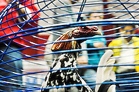 A fighting cock in the cage seen before the beginning of the match in the arena of San Miguel, Bogota, Colombia, 7 April 2006. Cockfight breeders usually cut their cock's feather off to create different shapes and so to make the birds visually attractive. Cockfight is a widely popular and legal sporting event in much of Latin America. The fight is usually held in an arena (gallera) with seats for spectators. There is always gambling involved in cockfights. People take advantage of cock's natural, strong will to fight against all males of the same species. Birds are specially bred to increase their aggression and stamina, they are given the best of food and care. The cocks are equipped with tortoise-shell made gaffs tied to the bird's leg. The fight is not intentionally to the death but it may result in the death of cocks very often because birds never stop fighting till they are dead.