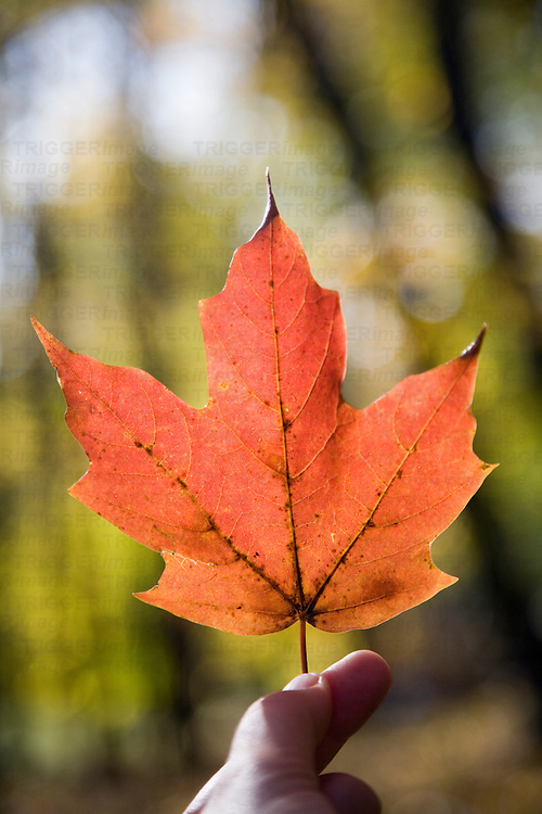 A hand holding a fallen maple leaf, Connecticut, USA
