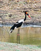 Saddle-Billed Stork female, South Luangwa NP, Zambia