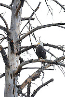 Aug. 14, 2012; Wood Canyon Lake trees forest bird bald eagle  Mandatory Credit: Mark J. Rebilas