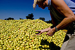 Toni Scully owner of the Scully Packing Company in Finley, CA looks at a pile of rotting pears on Tuesday, September 12, 2006. The plant typically discards less than a truckload a season, while this season Ð due to a lack of laborers Ð they're discarding 4-6 truckloads per day. Stepped-up border enforcement has led to a shortage of migrant labor which has left much of the pear crop rotting on the tree and ground in Lake County.