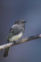 571003007 a wild black phoebe songbird sayornis nigricana perches on a tree limb in santa barbara county california