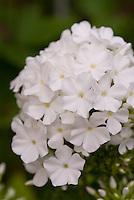 Phlox paniculata (white)