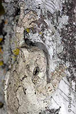 0202-0904  Eastern Gray Treefrog on White Bark Detail of Head (Grey Tree Frog), Hyla versicolor  © David Kuhn/Dwight Kuhn Photography