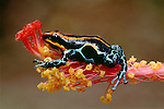 Dyeing poison arrow frog, South America