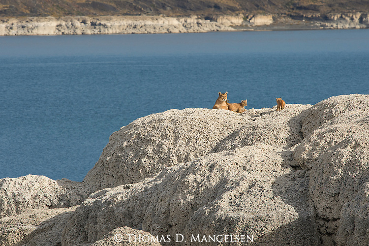 A pair of Puma kittens run to their mother on the rocks in Patagonia, Chile.