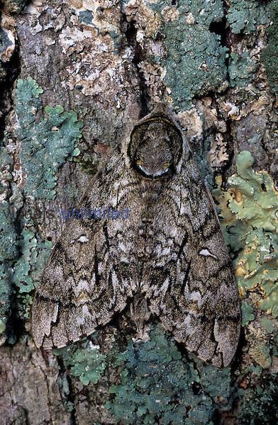 Waved Sphinx Moth (Ceratomia undulosa), Ohio, USA.