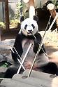 Giant panda Shin Shin may be pregnant