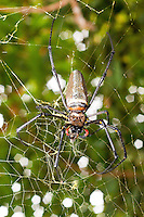 Golden Orb Web Spider with prey at Sabah Tea Plantation, Ranau