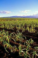 Sugar cane field found in Kunia, Oahu