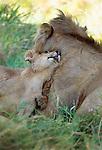 African Lion adult male and cub, Masai Mara National Reserve, Kenya