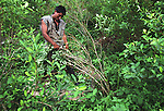 A workers harvests coca leaves in Orito, in the southern state of Putumayo. As part of a U.S. backed massive fumigation campaign, Colombian government troops have fumigated an estimated 62,000 acres in Putumayo, the world's cocaine heartland, but peasants continue to cultivate coca. (Photo/Scott Dalton)