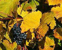 Yellow fall leaves and pinot noir grapes on the vine ready for picking in the Willamette Valley